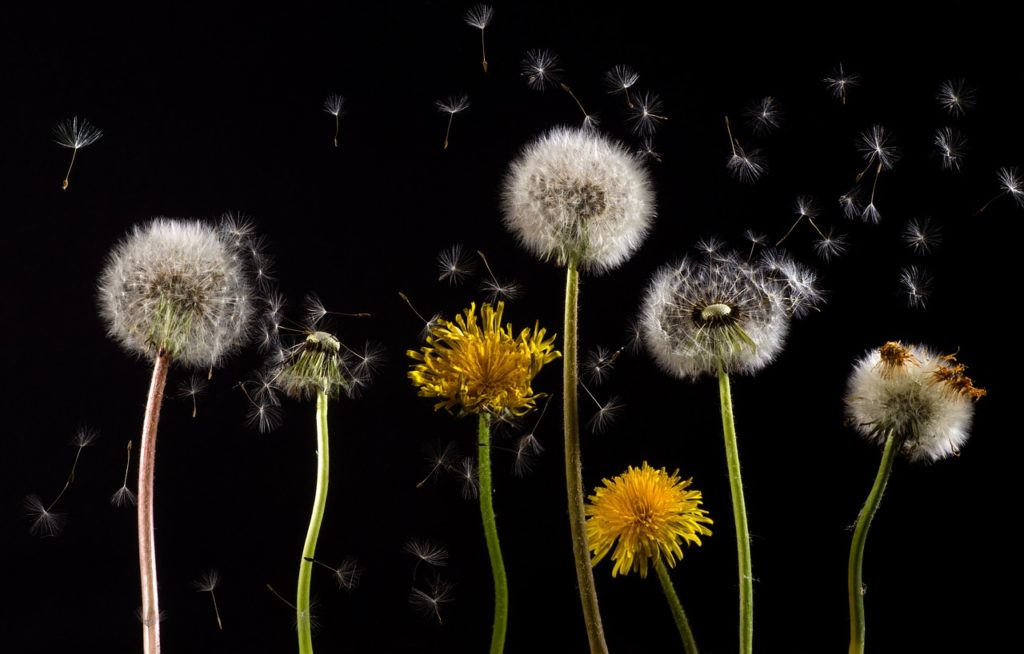 Dandelion and subplots make my eyes itch.
